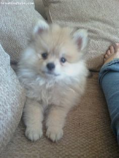 pomeranian puppies blonde | Zoe Fans Blog