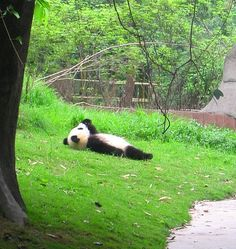 Panda - For some reason, I imagine he is watching the clouds.