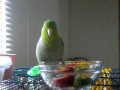 Mango the parrotlet singing away!