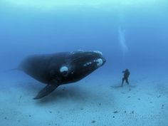 A diver has a close encounter wih a southern right whale