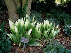 Another pic of the Aspidistra that would be a cool possibility for the front yard flower bed.