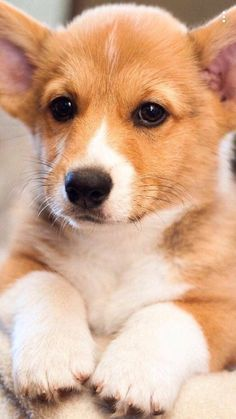 Master of puppies Welsh Corgi Puppies, Cute Puppies, Cute Dogs, Dogs And Puppies, Dachshund Puppies, Chihuahua Dogs, Cute Baby Animals, Animals And Pets, Amor Animal