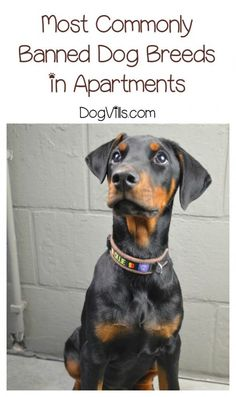 Apartments typically have a list of banned dog breeds. Check with your landlord about these banned dog breeds before adopting or renting.