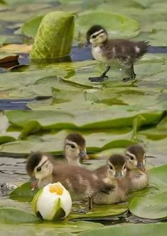 Little Brown and Yellow Mallard Ducklings on the Big Green Lotus Leaves - Baby Ducks Pretty Birds, Beautiful Birds, Animals Beautiful, Nature Animals, Animals And Pets, Wild Animals, Cute Baby Animals, Funny Animals, Baby Ducks