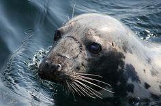 Seals off Looe Island Looe, Cornwall Looe Cornwall, Basking Shark, Sea World, Big Eyes, Seals, Pretty Pictures, Dolphins, Oc, Creatures