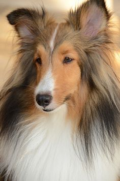 Yes I realize this is posted under Goldens but it is In Honor of my Sheltie whose name was Doc.  He was a sweet boy!