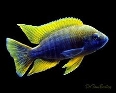 Image result for black cichlid with yellow fins