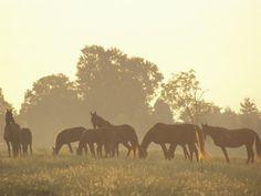 Thoroughbred Race Horses at Sunrise, Louisville, Kentucky, USA
