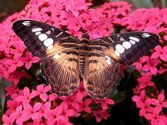 Brown, Clipper, Papillon