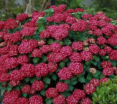 Cottage Farms 3-piece Red Sensation Hydrangea $42.40 - early summer to frost - zones 4-8 to -30 F temp.