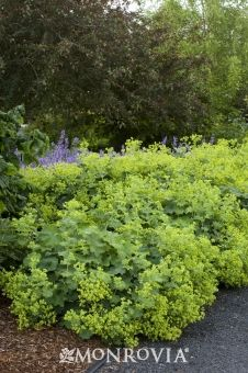 """Auslese Lady's Mantle. Zones 3 – 8. Full to part shade. Needs only occasional watering once established. Grows quickly in mounds 12"""" tall by 12"""" – 18"""" wide. Blooms in summer. Herbaceous perennial groundcover."""