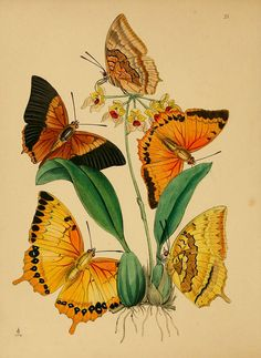 Chinese Butterflies 1847 Painting
