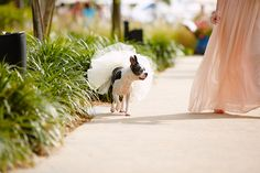dog flower girl, boston terrier flower girl, dog tutu, postcard inn wedding