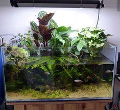 riparium - Premier Riparium de Patrice_B - Page 7 - Fresh water fish tank