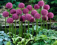 Allium (sierui) with Hostas and Ferns <3