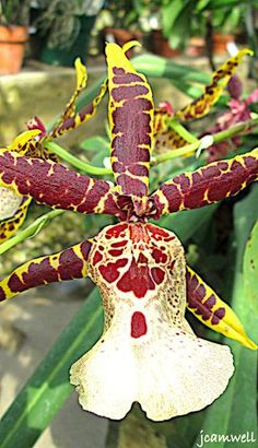 """""""tiger orchid"""""""