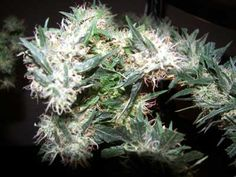 Cannabis growers who grow marijuana seeds in cold weather can not achieve good results with regular outdoor seeds. Many growers have to contend with Weed Strains, Cannabis News, Girl Scout Cookies, Medical Problems, Smoking Weed, All About Time, Bud, Smoke, Learning