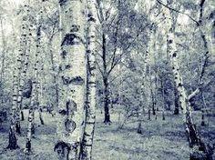 Bildergebnis für birkenwald winter