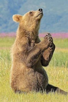It's Yoga Bear! Brown bear shows off his flexibility with an early-morning stretch Animals And Pets, Baby Animals, Funny Animals, Cute Animals, Wild Life Animals, Baby Pandas, Nature Animals, Baby Bear Cub, Bear Cubs