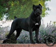 From About Time Cane Corso