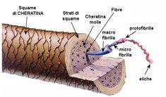 struttura-capello