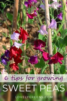 6 tips for growing Sweet Peas -- beautifully scented cottage garden flowers They're deeply fragrant, easy to grow, and make beautiful cut flowers. Here's six tips to get you started growing sweet peas. Succulent Gardening, Organic Gardening, Container Gardening, Gardening Tips, Vegetable Gardening, Flower Gardening, Gardening Services, Urban Gardening, Hydroponic Gardening