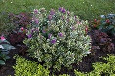 Hebe Variegata - love the variety of color on the leaves.  you can never go wrong with purple flowers