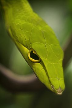 Asian Vine Snake | by Peter Csanadi