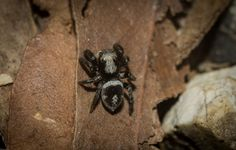 dustaway posted a photo:  3-4mm  on rocky ground at Saunders' [ex]Quarry  Cudgen Nature Reserve  North Coast NSW AU