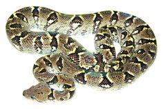Madagascar Boa (Sanzinia Madagascariensis)