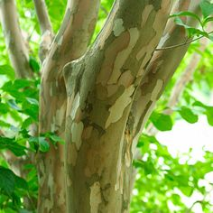 5 great trees for the winter landscape — Fernhill Landscapes