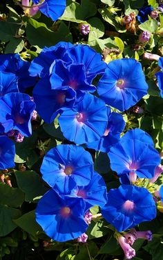 T - Morning glory (Ipomoea indica) Morning Glory Vine, Morning Glory Flowers, Morning Morning, Morning Glories, Blue Garden, Colorful Garden, Flower Names, Plantar, Flower Wallpaper