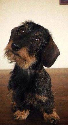 Wiener Dogs, Pet Dogs, Doggies, Daschund, Dachshund Love, Wire Haired Dachshund, Kittens And Puppies, Sausages, Cute Funny Animals