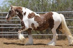 the beautiful mare, Auburn, who is the famous Austin's mother. Love her dappling!