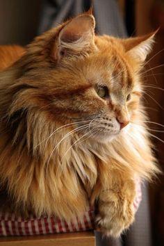 #gatti #mainecoon #cats #gatos