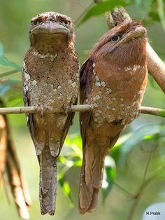 "Sri Lanka Frogmouth Birds - The Sri Lanka Frogmouth Birds photo by H. Pratik ""The Sri Lanka Frogmouth Birds photo by H. Pretty Birds, Beautiful Birds, Animals Beautiful, Animals And Pets, Funny Animals, Cute Animals, Exotic Birds, Colorful Birds, Tropical Birds"