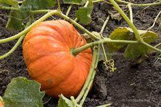 Shops, Pumpkin, Vegetables, Photos, Hokkaido, Foods, Tents, Pumpkins, Vegetable Recipes