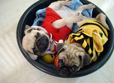 Pug puppies. Snuggling. In a bowl. With sweaters on. TOO CUTE.