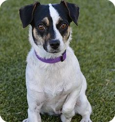 Meridian, ID - Fox Terrier (Smooth)/Chihuahua Mix. Meet Jazz, a dog for adoption. http://www.adoptapet.com/pet/11311853-meridian-idaho-fox-terrier-smooth-mix
