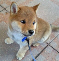 It is no wonder that so many people fall in love with the Shiba Inu puppy