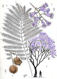 Jacarandá Jacaranda mimosifolia