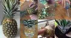 far germogliare ananas