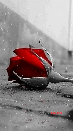 Rain on my rose Beautiful Flowers Wallpapers, Beautiful Rose Flowers, Beautiful Gif, Roses Gif, Flowers Gif, Bisous Gif, Beau Gif, Les Gifs, Splash Photography