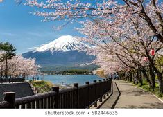 Find Mount Fuji Sakura Cherry Blossom Japan stock images in HD and millions of other royalty-free stock photos, illustrations and vectors in the Shutterstock collection. Thousands of new, high-quality pictures added every day. Singapore Garden, Meiji Shrine, Fuji Mountain, Japan Spring, East Coast Usa, Cherry Blossom Japan, Mont Fuji, Flower Festival, Day Tours