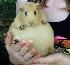 A pregnant guinea pig