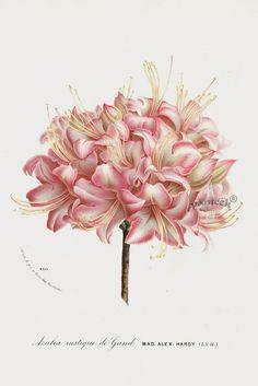 Azalea 1845 Charles Lemaire Flore des Serres et des Jardin Camellia, Azalea, Rhododendron Prints