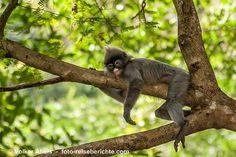 Phayre-Brillenlangur im Issan, Thailand © Volker Abels www.foto-reiseberichte.com