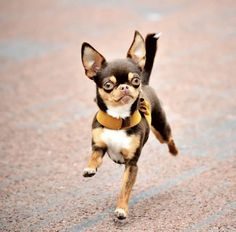 Chihuahua dogs are part of the toy dog breed, bringing a lot of energy in a tiny package. Find out more about the Chiwawa dog here. Cute Chihuahua, Teacup Chihuahua, Chihuahua Puppies, Cute Puppies, Cute Dogs, Baby Animals, Funny Animals, Cute Animals, Chi Dog