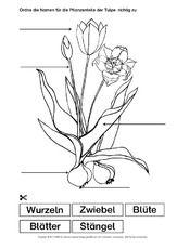 Tulpe-Bezeichnungen.pdf Peace, School, Classroom, School Worksheets, Homework, Plant Parts, Teaching Materials, Room
