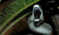 BLACK MAMBA — World's Fastest Land Snake Dendroaspis polylepis ©M.Dobiey The black mamba is the longest venomous snake in Africa, averaging around meters ft), and sometimes growing up to Black Mamba Snake, Snake Venom, Beautiful Snakes, King Cobra, Reptiles And Amphibians, Albino, Predator, Animal Kingdom, Pets
